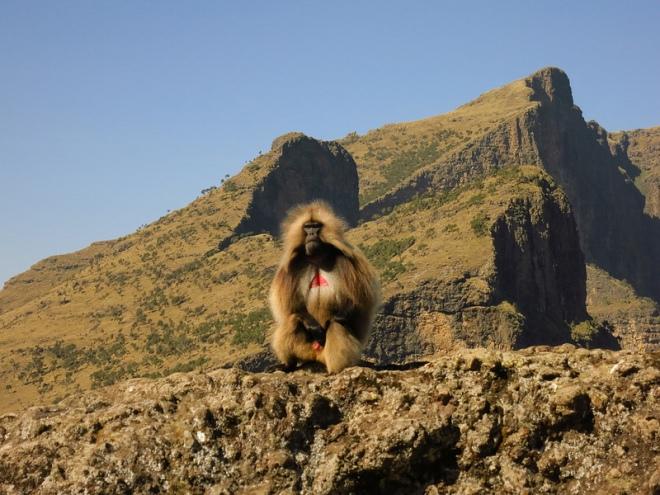 Gelada baboon at Chennek
