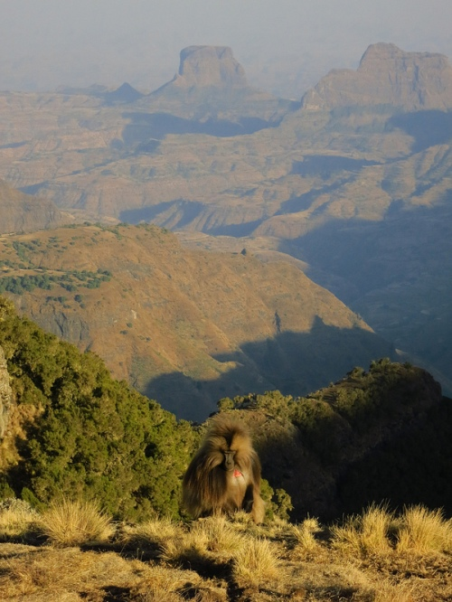 Gelada baboon on the escarpment near Sankabar