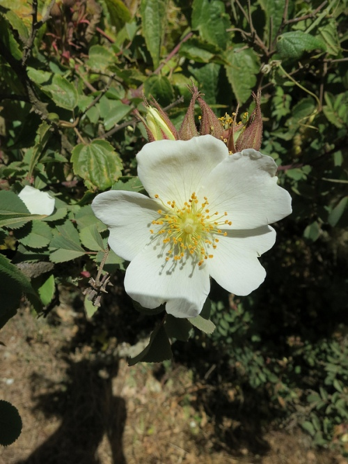 ...and Abyssinian roses (Africa's onlt indigenous rose species) are both common sights along the route