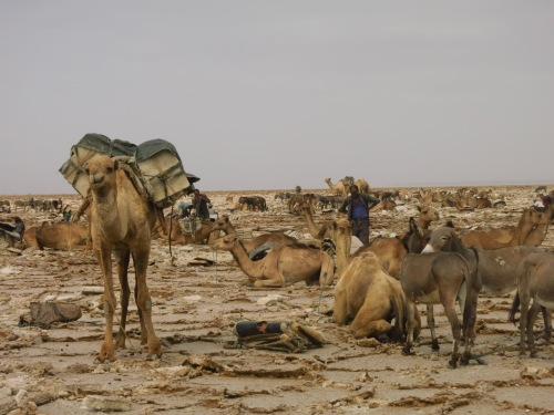 Camels wait while the Afar dig salt at Lake Asale