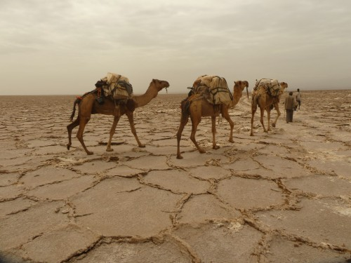Camels at Dallol