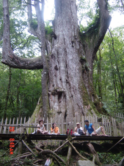 The magnificent Granddaddy Tree at Simakushi (Smagus), a remote but now extremely popular destination ion Hsinchu County (a very old photo, taken in the late 1990s!)
