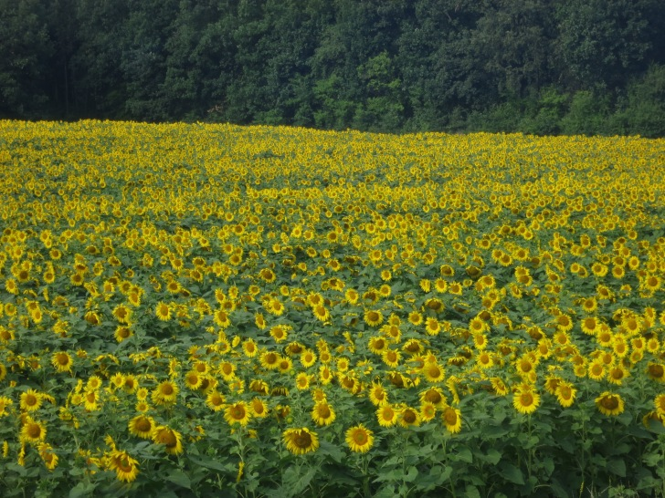Huge fields of sunflowers are a common sight all across the Balkans during July