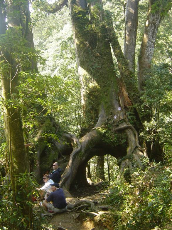 Eight Immortals Tree (2011 photo)