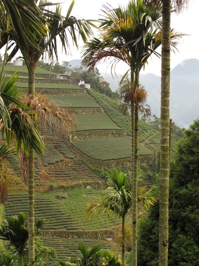 Tea fields near Fengshan