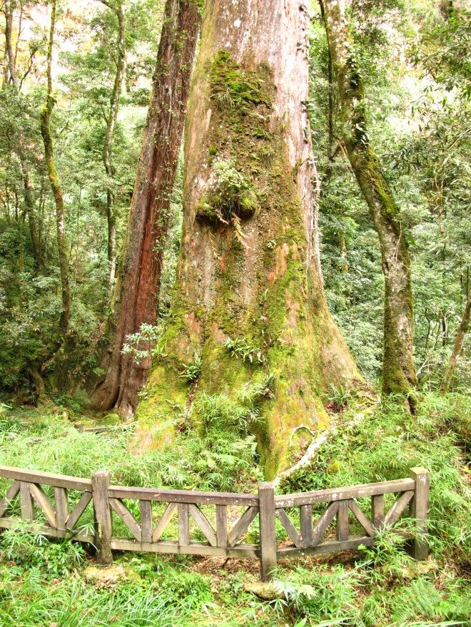 Huge old tree halfway down the cliffs