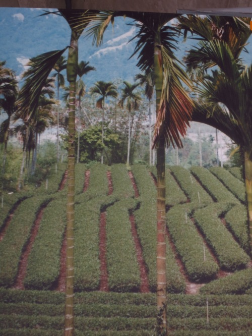 Photo in the 921 Earthquake Museum of Taiwan, showing tea fields on the line of the Chelongpu Fault, which ruptured during the eartlquake