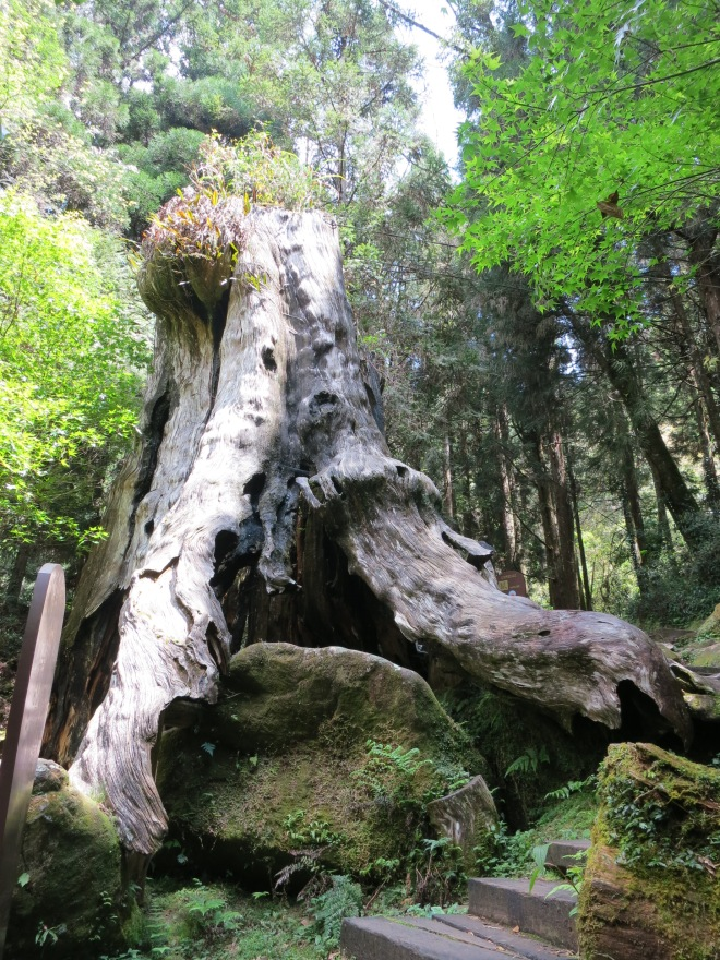 A sadly only too-common sight in Shanlinsi - the stump of an ancient giant tree, harvested before cutting down such amazing trees was illegal