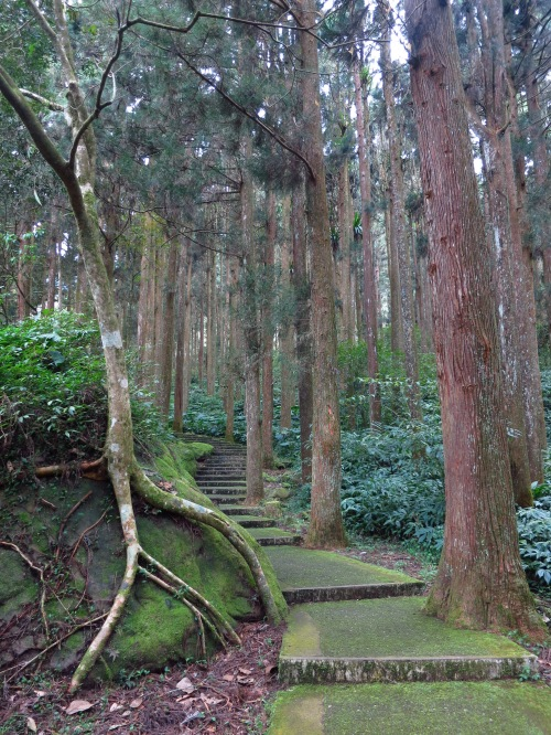 The beautiful coniferous forest at Sitou