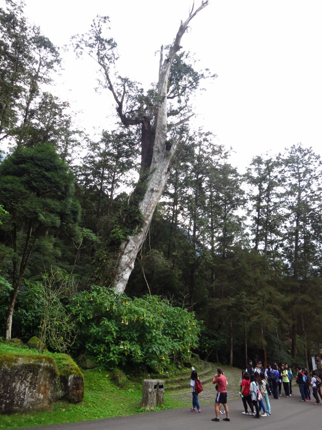 The ancient tree (an estimated 1,800 years old) at Sitou, another popular spot