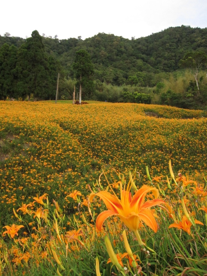 Daylilies at Chihkeshan
