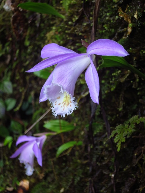 Taiwan Pleione, a rare endemic orchid, on a trail in Hsinchu County