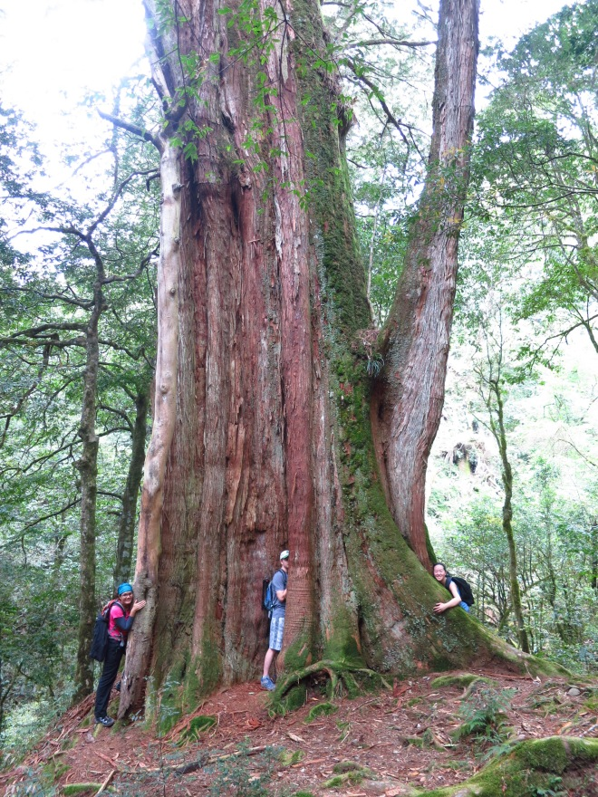 Ancient red cypruss tree (over 2,000 years old) at Zhenxibao, Hsinchu County