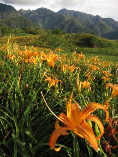 Daylilies at Liushidanshan, Hualien County