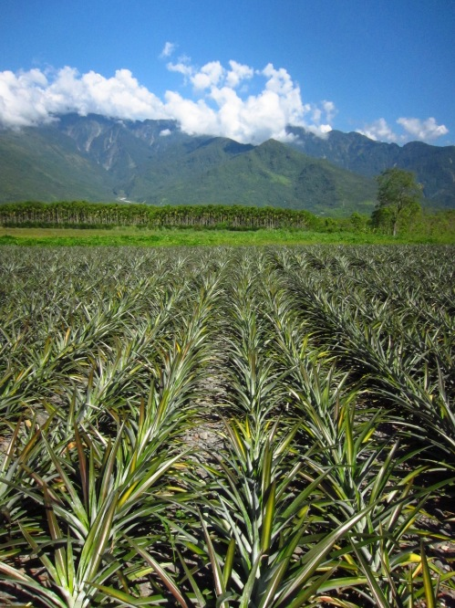 Pineapple fields in southern Hualien County