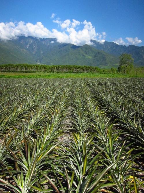 Pineapple fields in southern Hualien County