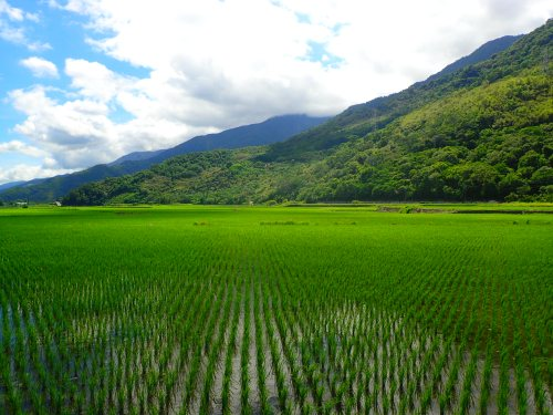 The incredible green paddy fields of the East Rift Valley