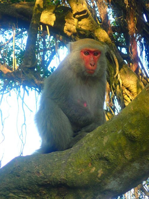 The endemic Formosan macaque at Shoushan, Kaohsiung City