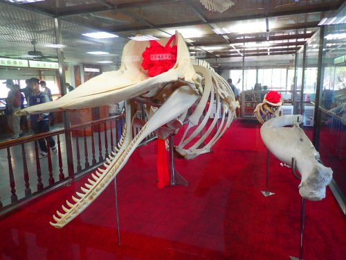 Sperm Whale skeleton, Taijiang National Park