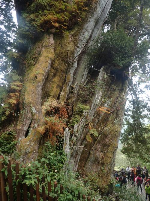 Lulin Ancient Tree, the fifth largest in Taiwan